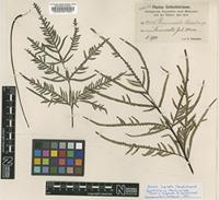 Isotype of Pteris mixta Christ in Schwacke & Lauterbach [family PTERIDACEAE]