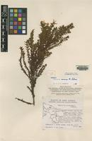Holotype of Hypericum sewense N.Robson [family GUTTIFERAE]