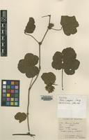 Isotype of Rubus cooperi D.G.Long [family ROSACEAE]
