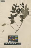 Original material of Glycine frutescens L. [family FABACEAE: FABOIDEAE]