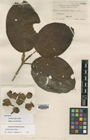 Isotype of Medinilla multinervia Merr. [family MELASTOMATACEAE]