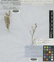 Isolectotype of Angianthus brachypappus F.Muell. [family ASTERACEAE]