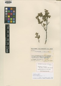 Filed as Gnidia daphnifolia L.f. [family THYMELAEACEAE]