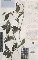 Type of Sabicea angolensis Wernham [family RUBIACEAE]