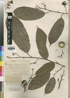 Type of Coula utilis S.Moore [family OLACACEAE]