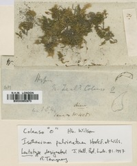 Lectotype of Isothecium pulvinatum Hook.f. & Wilson [family BRACHYTHECIACEAE]