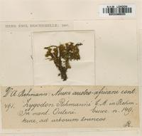 Original material of Zygodon rehmanni C. Muell. [family ORTHOTRICHACEAE]