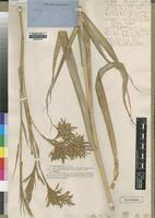 Type of Andropogon densiflorus Steud. [family POACEAE]
