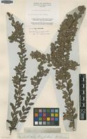 Lectotype of Grevillea mucronulata R.Br. [family PROTEACEAE]