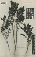 Isotype of Gerardia ramosissima (Benth.) [family SCROPHULARIACEAE]