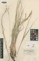 Type of Bromus persicus Boiss. [family POACEAE]