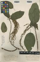 Isotype of Myriocarpa filiformis Rusby [family URTICACEAE]
