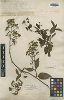 Type of Salmea scandens (L.) S.F.Blake var. genuina [family ASTERACEAE]