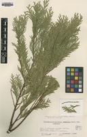 Type? of Chamaecyparis lawsoniana (A.Murray bis) Parl. [family CUPRESSACEAE]