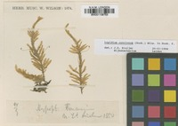 Type? of Lopidium pallens Hook.f. & Wilson [family HYPOPTERYGIACEAE]