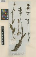 Isotype of Penstemon micranthus Nutt. [family SCROPHULARIACEAE]