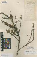 Type of Cotoneaster langei G.Klotz [family ROSACEAE]