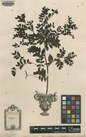 Original material of Orobus niger L. [family FABACEAE: FABOIDEAE]