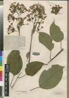 Type of Clerodendron chamaeriphes Wernham [family VERBENACEAE]
