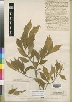 Holotype of Turraea angolensis Exell [family MELIACEAE]