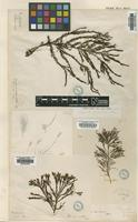 Filed as Stypocaulon paniculatum (Suhr) Kutzing [family STYPOCAULACEAE]