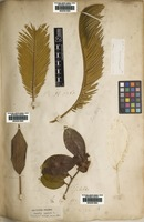 Filed as Camellia japonica L. [family THEACEAE]