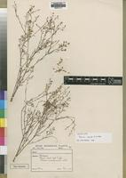 Lectotype of Thesium gracile A.W.Hill [family SANTALACEAE]