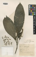 Type of Justicia trichocarpa J.B.Imlay [family ACANTHACEAE]