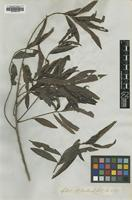 Type of Tetranthera angustifolia (Blume) Nees [family LAURACEAE]