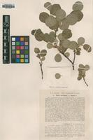 Type of Salix herbacea L. [family SALICACEAE]