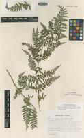 Isotype of Dryopteris x apuana Gibby, S.Jess. & Marchetti [family DRYOPTERIDACEAE]