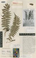 Type of Dryopteris mazzeltiana C.Chr. [family DRYOPTERIDACEAE]