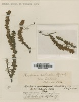 Type of Hookeria robusta Hook.f. & Wilson [family HOOKERIACEAE]