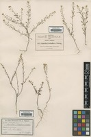 Isolectotype of Asta pringlei O.E.Schulz [family BRASSICACEAE]