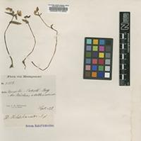Isotype of Disperis hildebrandtii Rchb.f. [family ORCHIDACEAE]