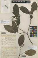 Isolectotype of Xylopia olivacea King [family ANNONACEAE]