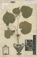 Lectotype of Sida abutilon L. [family MALVACEAE]