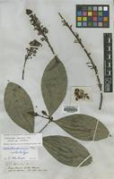 Isotype of Lophanthera spruceana Nied. [family MALPIGHIACEAE]