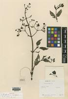 Holotype of Scrophularia cooperi R.R.Mill [family SCROPHULARIACEAE]