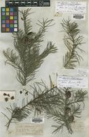 Lectotype of Hakea decurrens R.Br. [family PROTEACEAE]