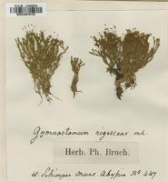 Type of Gymnostomum rigescens (Müll.Hal.) Bruch. & Schimp. [family POTTIACEAE]