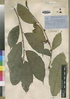Type of Ficus urceolaris Welw. ex Hiern [family MORACEAE]