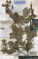 Lectotype of Banksia australis R.Br. [family PROTEACEAE]