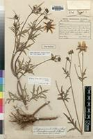 Isotype of Coreopsis prestinaria Sch.Bip. [family ASTERACEAE]