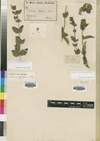 Filed as Justicia odora (Forssk.) Lam. [family ACANTHACEAE]