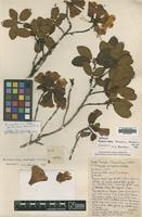 Holotype of Rhododendron tamaense Davidian [family ERICACEAE]