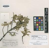 Isotype of Flourensia retinophylla S.F.Blake ex B.L.Rob. [family ASTERACEAE]