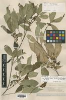 Type of Ficus formosana Maxim. [family MORACEAE]