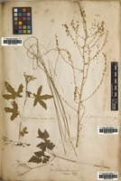 Filed as Cnidoscolus stimulosus (Michx.) Engelm. & A.Gray [family EUPHORBIACEAE]