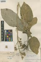 Isotype of Synotis panduliformis C.Jeffrey & Y.L.Chen [family ASTERACEAE]